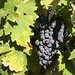 Old-Time Wine Grapes