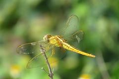 IMG_6143 (mohandep) Tags: hessarghatta lakes karnataka butterflies birding nature wildlife insects signs food