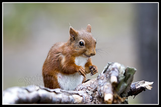 IMG_0112 Red Squirrel
