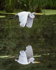 Mirror image (Fred Roe) Tags: nikond810 nikkorafs80400mmf4556ged nature wildlife birds birding birdwatching birdwatcher birdinflight greategret ardeaalba reflection peacevalleypark
