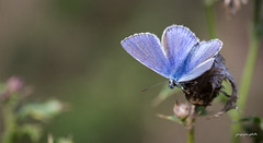 Common blue (Jongejan) Tags: commonblue icarusblauwtje butterfly vlinder insect nature wildlife macro outdoor outside icarus countryside