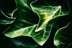 ivy (Francis Mansell) Tags: plant leaf ivy kew kewgardens royalbotanicgardenskew nikanalogefexpro2 macro