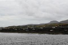 seals near Dunvegan castle (NengHetty) Tags: dunvegan castle dunvegancastle skye scotland highlands commonseal seal mammal marine caistealdhùinbheagain dhùinbheagain harbourseal harborseal