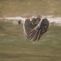 Bihoreau gris (juvenile) - Black-crowned Night-Heron - Nycticorax nycticorax (Suzanne Houle) Tags: bihoreaugris blackcrownednightheron
