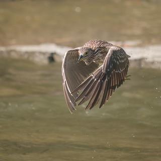 Bihoreau gris (juvenile) - Black-crowned Night-Heron - Nycticorax nycticorax