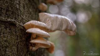 Porcelain Fungus (Oudemansiella mucida)