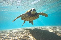 IMG_0933A (Aaron Lynton) Tags: beach lyntonproductions turtle honu maui hawaii luckywelivehawaii greenseaturtle seaturtle turtles refraction sun light water ocean oceanart reflect reflection sand coast