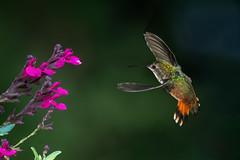 Glittering (Patricia Ware) Tags: allenshummingbird backyard birdsinflight california canon ef500mmf4lisusm manhattanbeach multipleflash selasphorussasin tripod ©2018patriciawareallrightsreserved specanimal