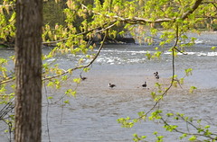 GeeseEnjoyingHolstonRiver (T's PL) Tags: tamron16300f3563diiivcpzd tamron 16300 nikon kingsporttennessee kingsporttn nikond7000 d7000 tennessee nikontamron tamronnikon tamron16300 alonggreenbelt alongkingsporttngreenbelt geese holstonriver water f3563 di ii vc pzd alonggreenbeltinkingsporttn greenbelt outdoor trees