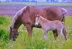 Amish Farm (forestforthetress) Tags: horse animal farm outdoor color amish omot nikon grass green