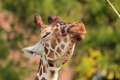 Its a Beautiful Day..... (K.Verhulst) Tags: giraf giraffe blijdorp blijdorpzoo diergaardeblijdorp rotterdam rotterdamzoo