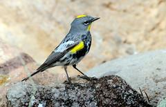 Yellow-rumped Warbler -- Male (Dendroica coronata); Santa Fe National Forest, NM, Thompson Ridge [Lou Feltz] (deserttoad) Tags: wildlife nature newmexico mountain nationalforest desert bird wildbird warbler