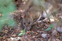 Who nibbled my ear? (stellagrimsdale) Tags: waterrat rat hollowpond ear nibbledear lookingatme wildlife rodent ground forestfloor undergrowth canon 100400mm bush brown eyes ears