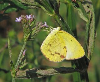 Little Yellow (Pyrisitia lisa) - yesterday