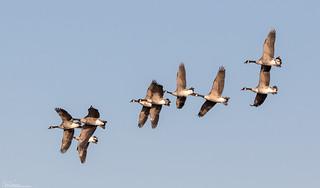 Sunlit Canada Geese