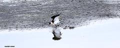 J78A1739 (M0JRA) Tags: birds flight flying wildlife rats walks gardens parks fields trees lakes ponds ducks swans rspb