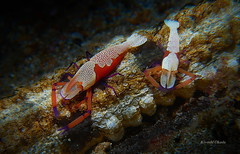 Emperor shrimps on sea cucumber (kyshokada) Tags: shrimps emperorshrimp animalplanet symbiosis symbiotic seacucumber a7 sony scuba diving reef underwater indonesia lembehstrait pacific sulawesi