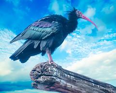 Northern Bald Ibis (JKmedia) Tags: northern bald ibis bird endangered boultonphotography 2018
