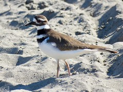 Killdeer On The Beach (morroelsie) Tags: killdeer beachbirds centralcoast centralcoastbirds morroelsie