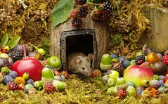 wild mouse with fruits and berry's (9) (Simon Dell Photography) Tags: wild george log pile house mouse nature garden animal rodent cute fun funny summer fruits berries berrys display lots bounty moss covered simon dell photography sheffield 2018 aug cool awesome countryfile ears close up high detail cards design