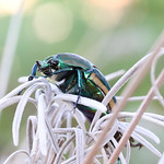 Green June Beetle (Cotinis nitida) thumbnail