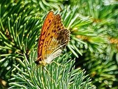 Butterfly (Jurek.P) Tags: butterflies butterfly motyle motyl perłowiecmalinowiec silverwashedfritillary macro jurekp sonya77