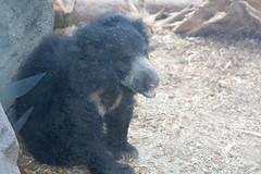 Anglų lietuvių žodynas. Žodis bear cub reiškia meškiukas lietuviškai.