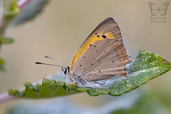 ♀ Small Copper (roderick smith) Tags: lycaenaphlaeas smallcopper butterfly codnorpark forgesite derbyshire canon eos6dmkii ef100mmf28lmacro