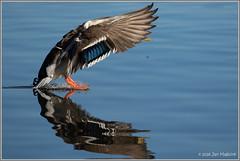 Perfect Touchdown 3884 (maguire33@verizon.net) Tags: frankgbonelliregionalpark bird duck male mallard wildlife sandimas california unitedstates us