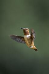 Rufous is the color of the season (Extra Medium) Tags: hummingbird allenshummingbird rufoushummingbird audubon magazinecover