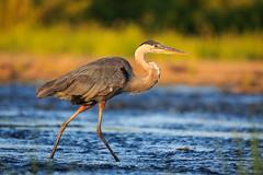 _LD_5103 (romain-dreux-photo) Tags: greatblueheron birds nature river colors sunset bokeh canada grandhéron
