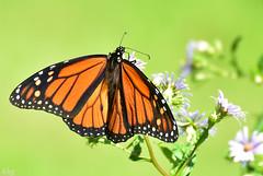 DSC_8414 Monarch (Charli 49) Tags: nature naturfotografie tier insekt schmetterling monarch kanada ontario nikon d7200