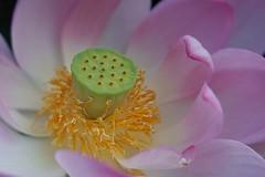 Pink Lotus Heart (JPShen) Tags: pond summer garden heart center closeup g flower pink lotus