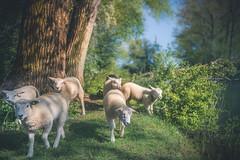 Play, learn and grow together II (Ingeborg Ruyken) Tags: ochtend instagram spring empelfilmpjelente2018 empel herd schapen sheep mei lente natuurfotografie 500pxs may flickr empelsedijk