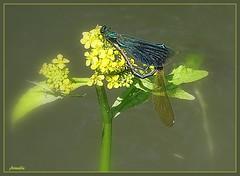 Love in blue and green ! (Armelle85) Tags: extérieur nature fleur flore faune insecte libellules macro