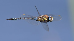 Migrant Hawker (image 3 of 4) (Full Moon Images) Tags: rspb fen drayton lakes wildlife nature reserve cambridgeshire insect macro flight flying migrant hawker dragonfly