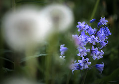 Evening blue (Dan Österberg) Tags: flower flowers bluebells blue grass green