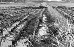 Reaped (odeleapple) Tags: nikon f2 carl zeiss planar 50mm yellowfilter kodaktmax100 film monochrome analog bw reap rice paddy harvest