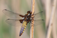 Broad-bodied Chaser (M_squared Images) Tags: broadbodiedchaser libelluladepressa msm1935 lancs silverdale rspbleightonmoss