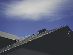 2018:09:09 14:15:34 - Katze auf dem Dach - Schmalensee - Schleswig-Holstein - Germany (torstenbehrens) Tags: katze auf dem dach schmalensee schleswigholstein germany