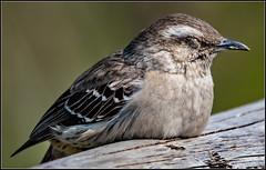 Descanso (Totugj) Tags: nikon d7500 sigma 150600mm calandria aves argentinas birds uccelli reserva ecológica costanera sur animales fauna
