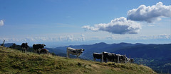 Cool les meuuuuhs ! (Philippe Haumesser Photographies (+ 6000 000 view)) Tags: nature paysage paysages landscape landscapes montagne montagnes mountain mountains ciel sky horizon vaches cows panorama panoramique nuages clouds valléedemunster schiessroth hautrhin 68 vosges alsace elsass france sonyilce6000 sony 2018