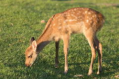 Grazing fawn in Nara, Japan (mistermacrophotos) Tags: deer roe fawn baby feeding grazing grass quiet calm golden hour nara japan canon 5d mk4 animal ears bambi cute kawai too young red spots pretty