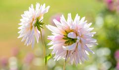 Weißes Licht (KaAuenwasser83) Tags: dahlien blüten weis sonne licht
