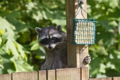 What????????  Just looking. (jerrygabby1) Tags: raccoon birdfeeder