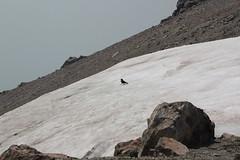 Raven in the snow (rozoneill) Tags: lassen volcanic national park peak hiking california volcano