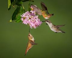 The Trio (Eric Gofreed) Tags: arizona hummingbird multiflashphotography mybackyard sedona