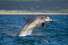 Moray Firth Dolphin (cjdolfin) Tags: chanonrypoint fortrose highland morayfirth rossshire scotland scottish tursiopstruncatus blue breach cetacean cjdolfin cute dolphin highlands jump mammal nature odontocete summer wild wildlife young