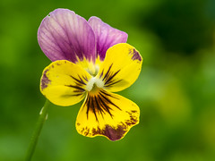 viola - Multicolor HMM (de_frakke) Tags: viooltje viola stiefmutterchen kleuren macromonday multicolor