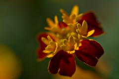 Marigold (pstenzel71) Tags: blumen natur pflanzen marigold studentenblume tagetes darktable flower bokeh